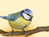 Blue Tit Bird, Cyanistes Caeruleus, Perched on a Tree Limb