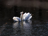 Pair of Mute Swans Courting