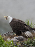 American Bald Eagle Vocalizing and Protecting it's Nest and Chicks