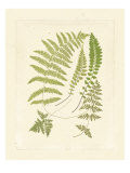 Ferns with Platemark II