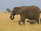 African Elephant and Baby (Loxodonta Africana), Masai Mara National Reserve, Kenya