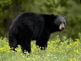 Black Bear (Ursus Americanus), Manning Provincial Park, British Columbia, Canada, North America