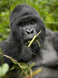 Silverback Mountain Gorilla (Gorilla Gorilla Beringei), Group 13, Volcanoes National Park, Rwanda