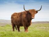 Highland Cattle, Isle of Skye, Scotland, United Kingdom, Europe