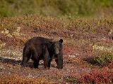 Black Bear (Ursus Americanus) Among Fall Color, Denali National Park and Preserve, Alaska