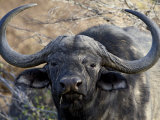 Cape Buffalo or African Buffalo (Syncerus Caffer), Mountain Zebra National Park, South Africa
