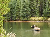 Cow Moose Feeding in Moose Lake, Jasper National Park, UNESCO World Heritage Site, Alberta, Canada
