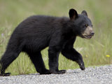 Black Bear (Ursus Americanus) Cub Crossing the Road, Alaska Highway, British Columbia, Canada