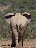 African Elephant (Loxodonta Africana) from Behind, Addo Elephant National Park, South Africa