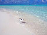 Heron Walking Along Waters Edge on Tropical Beach, Maldives, Indian Ocean