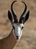 Male Springbok (Antidorcas Marsupialis), Kgalagadi Transfrontier Park, South Africa