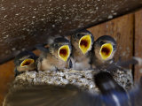 Four Barn Swallow (Hirundo Rustica), Custer State Park, South Dakota, Usa