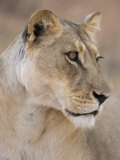 Lioness (Panthera Leo), Kgalagadi Transfrontier Park, South Africa, Africa