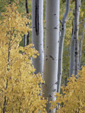 Aspen Trunks Behind Yellow Maple Leaves in the Fall, White River National Forest, Colorado, Usa