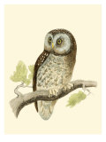 Morris Tengmalm's Owl