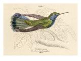 Blue Bellied Hummingbird