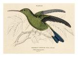 Buffon's Hummingbird