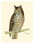Morris Mottled Owl
