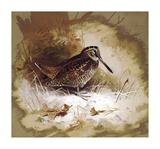 A Woodcock
