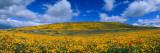 California Golden Poppies Blooming, Antelope Valley California Poppy Reserve, Antelope Valley