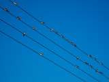 Swallows in Autumn Prior to Migration, Fethard, County Tipperary, Ireland