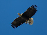 Bald Eagle Carries a Fish in its Talons over New York Citys Central Park