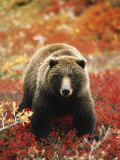 Grizzly Bear Standing Amongst Alpine Blueberries, Denali National Park, Alaska, USA