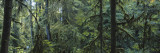 Dense Forest, Hoh Rainforest, Olympic National Park, Washington, USA