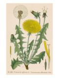Dandelion French : Pissenlit