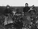 Women Beet Pulling for the War Effort During World War I