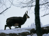 Side Profile of a Chamois Running, Gran Paradiso National Park, Valle D'Aosta, Italy