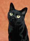 Close-Up of a Bombay Cat