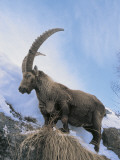 Low Angle View of an Alpine Ibex (Capra Ibex) Standing on a Mountain, Gran Paradiso National Park