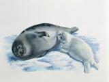 Close-Up of a Female Harp Seal Feeding its Cub (Phoca Groenlandica)