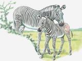 Close-Up of a Burchells Zebra with its Colt in a Field (Equus Burchelli)