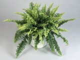 Close-Up of a Boston Fern in a Pot (Nephrolepis Exaltata)