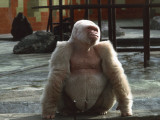 Albino Gorilla in a Zoo, Barcelona, Catalonia, Spain