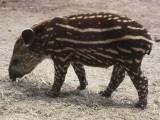 Side Profile of a Brazilian Tapir Walking (Tapirus Terrestris)