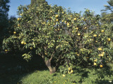 Sour Orange Tree in an Orchard (Citrus Sinensis)