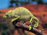 Close-Up of a Female Oustalet's Chameleon (Furcifer Oustaleti)