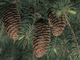 Close-Up of Pine Cones on a Blue Pine Tree (Pinus Wallichiana)
