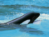 High Angle View of a Killer Whale in Water (Orcinus Orca)