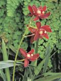 Close-Up of Cymbidium Hybrid Flowers
