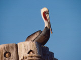 Brown Pelican Perched on a Pier