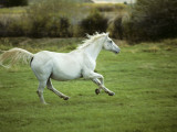 White Arab Horse (Equus Caballus) Cantering in Field, Wyoming, Usa
