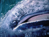 Detail of a Gray Whale Showing Baleen