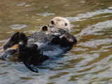 Mother Sea Otter Floats on Back and Holds Pup on Chest