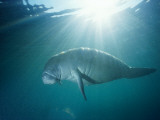 Manatee Underwater, Sunlight Filtering Through Surface