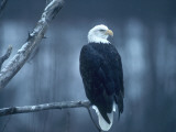 Bald Eagle Perched on a Snowy Branch