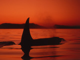 Killer Whale Swims on Surface, in Low Light, Spouting with Mountains in Background